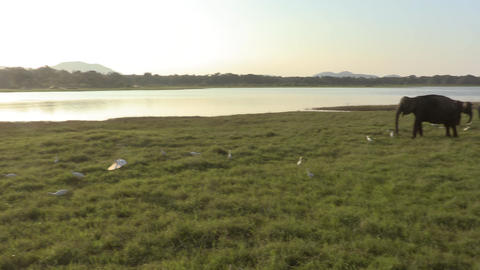 Wild elephants eating grass Stock Video Footage