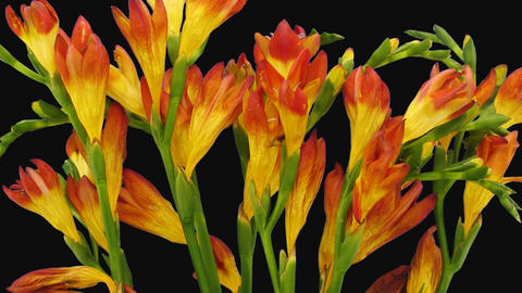 Time-lapse of dying orange freesia flower with ALPHA channel Footage