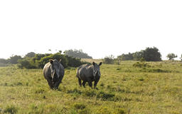Rhino Pair on Grassland フォト