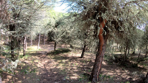 Walking In A Pine Forest