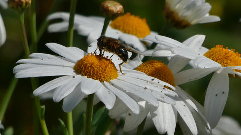 bee that takes nectar from a daisy ビデオ