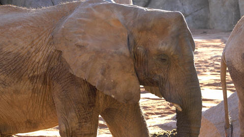 African savannah elephant. Species: Loxodonta africana, family: elephantidae GIF