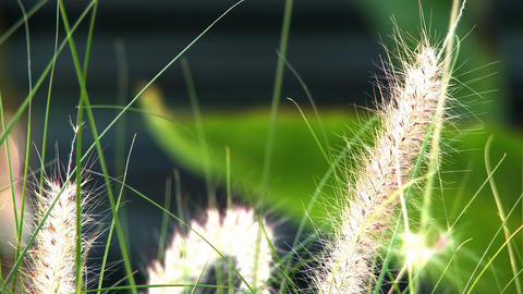 Tight shot of some fuzzy grass tops Footage