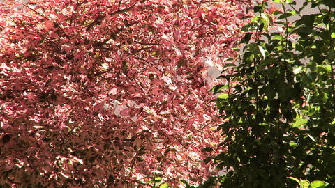 Pink and green leaves blowing in the wind Footage
