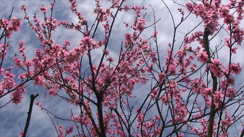 peach tree blossoms very delicate flowers Footage