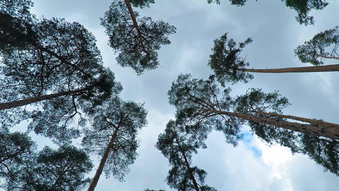Old pine trees (pinery) sway in wind against sky. Trunks of trees swaying Footage