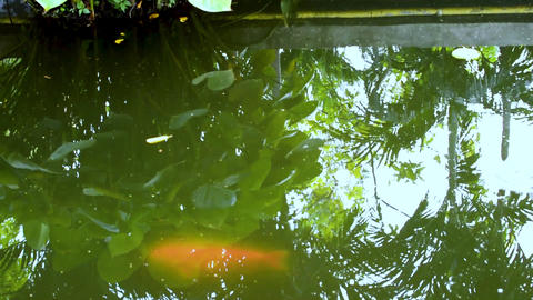 Gold carp, mirror carp or koi fish swimming in pond.Fish in an aquarium.Garden with pond and fish Footage