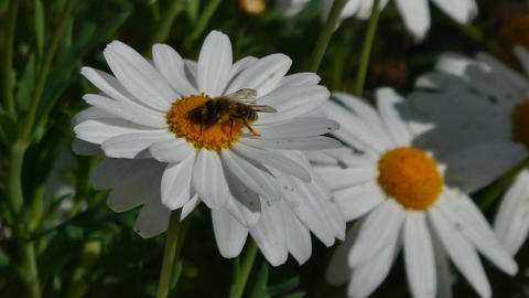 bee takes nectar from a daisy Footage