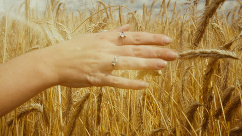 Close-up of of Woman's hand running through golden wheat field. Girl's hand Live Action