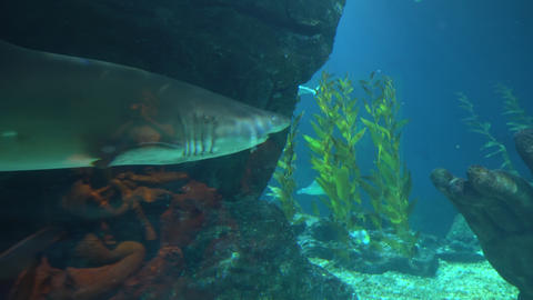 Great shark swims deep in undersea and search of prey Live Action