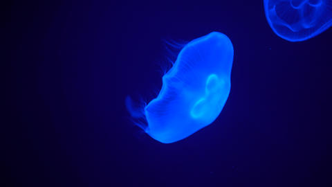 Glowing jellyfish floating lonely and tranquil at blue background Live Action