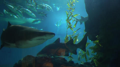 A large shark with sharp teeth swims past small fish at depth Live Action
