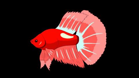 Big Red Aquarium cockerel fish Alpha Matte looped Animation
