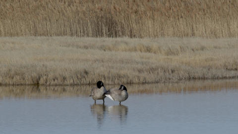 Pair of Canada Geese Footage
