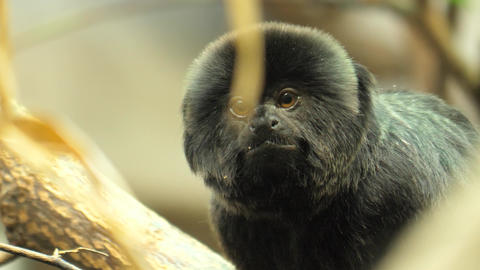 Black marmoset- close up Footage