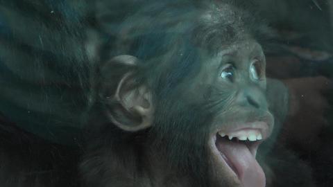 Baby bonobo Live Action