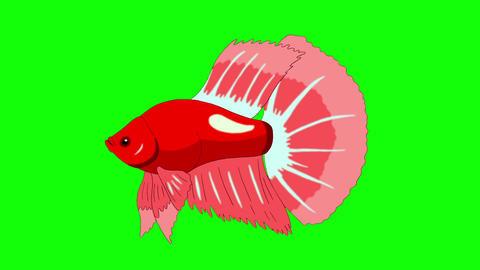 Big Red Aquarium cockerel fish Chroma Key looped Animation