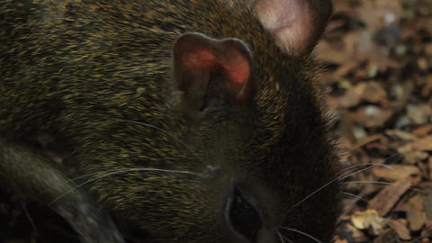 Close up profile of agouti face with paws to mouth Live Action
