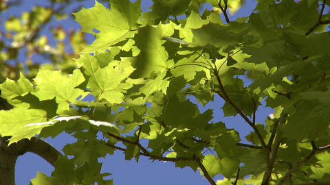 Tight shot looking up at green maple leaves blowing in the wind Footage
