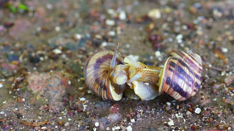 Snail Couple Make Love stock footage