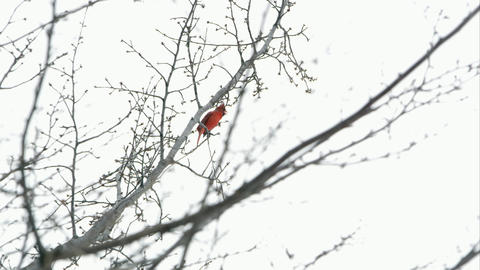Slow motion static shot of a Cardinal chirping in a tree Footage