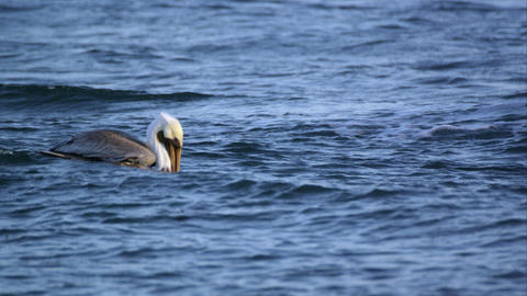 Slow motion shot of Pelican floating in the waves Footage