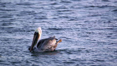 Slow motion shot of Pelicans floating in the ocean Footage
