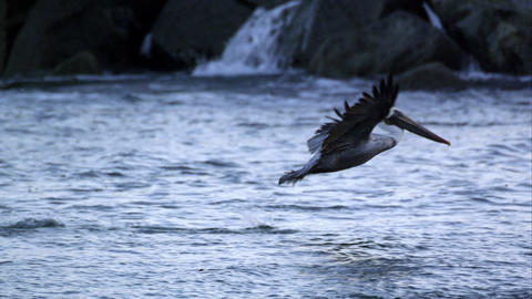 Slow motion shot of Pelican in flight then diving into the water after a fish Footage