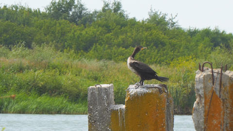 Cormorant sitting on concrete block against the bushes and spreads its wings Live Action