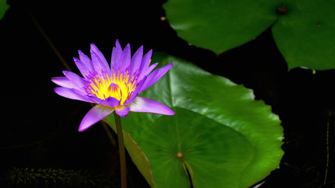 Water Lily Flower vibrant colour Footage