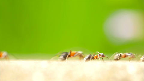 Ants Marching On Forest Path Footage