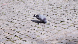 Pigeons on a portuguese pavement cobblestone promenade Footage
