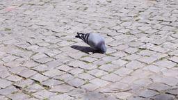Pigeons on a portuguese pavement cobblestone promenade Footage