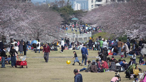 People enjoy cherry-blossom viewing or Ohanami in Takarano park in Tokyo Live Action