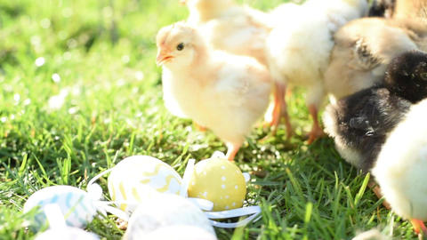 Easter Chick And Bunnys 0