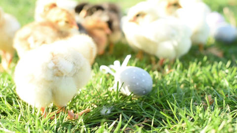 Close up newborn chickens in warm tone and beak on the grass field on green Footage