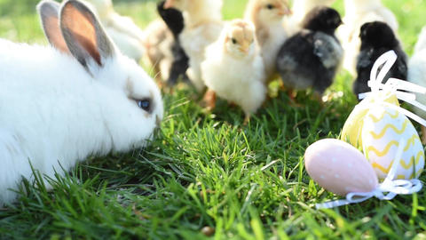 Close up newborn chickens and easter bunny in warm tone on the grass field on Live Action