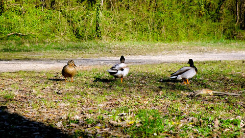 Two male ducks, mallards competing to mate with a female, wildlife rivalry Live Action