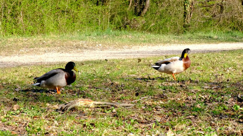 Adult duck, mallard competing to mate with a female,... Stock Video Footage