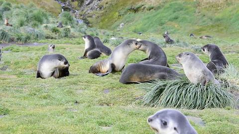 Antarctic fur seal pup close up in grass Live Action