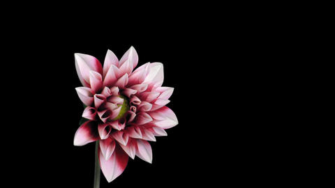 Time-lapse of blooming red dahlia ALPHA matte 2 Stock Video Footage