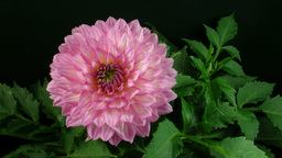 Time-lapse of blooming pink dahlia 1 GIF