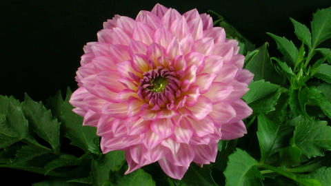Time-lapse of blooming pink dahlia 2 Stock Video Footage