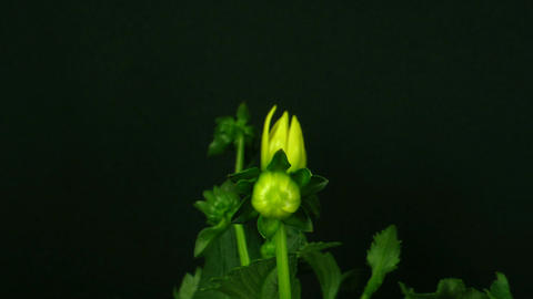 Time-lapse of blooming yellow dahlia 2 Stock Video Footage