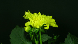 Time-lapse of blooming yellow dahlia 2 Footage