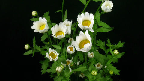 Time-lapse of opening daisy flowers 2 Stock Video Footage