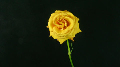 Time-lapse of dying orange rose 2 Stock Video Footage