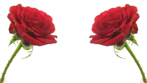 Time-lapse of two dying red roses isolated on white 6 Stock Video Footage