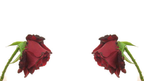 Time-lapse of two dying red roses isolated on white 6 Footage