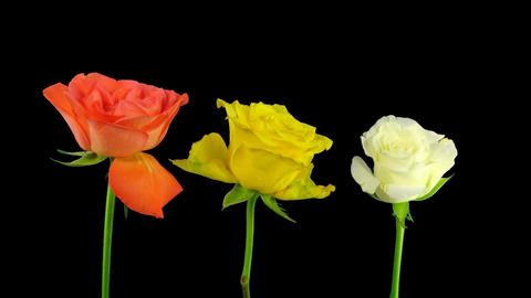 Time-lapse dying three colorful roses ALPHA matte 1 Stock Video Footage